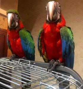 Гибрид попугаев ара - Арлекин