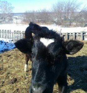 Телка годовалая, от высоко удойной коровы
