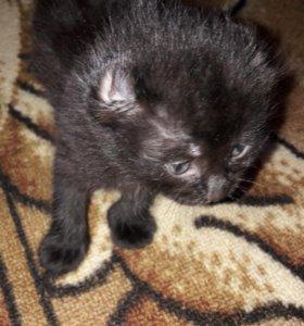 Американский керл, котята с ушками завитушками