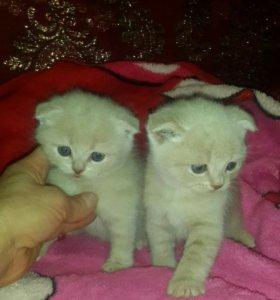 Шотландские котятки котики