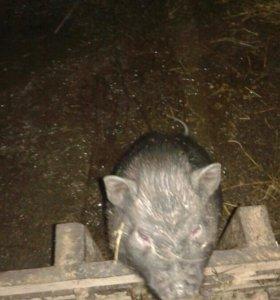 Въетнамские свиньи и поросята.