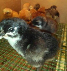 Цыплята маран