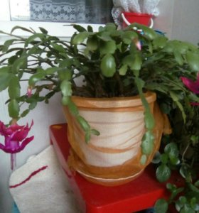 Цветы декабрист
