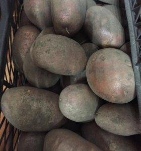 Картофель оптом.
