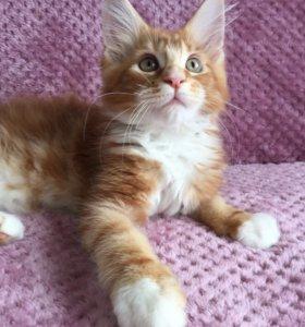 Котята Мейн-кун чистокровные, крупные