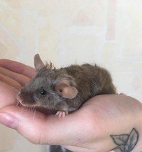 Сатиновая мышка, девочка шоко