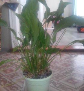 Цветок спатифилюм