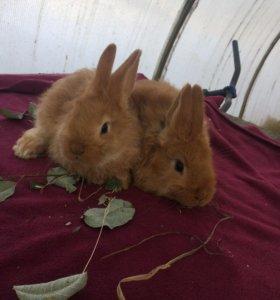 Крольчата НЗБ, Бургундии