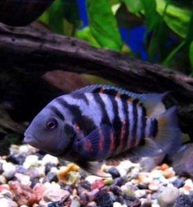 Рыбки-Цихлазома чернополосая