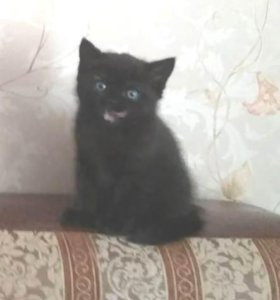 Продаётся шотландский котёнок