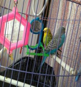 Два попугая и клетка