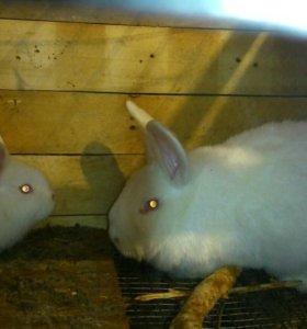 Кролики калифы,бсс,нзб,нзк