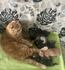 Бронирование шотландских котят