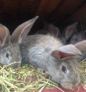 Кролики ризен+ фландер