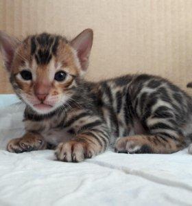 Котята бенгальские.