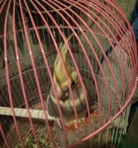 Попугай карела