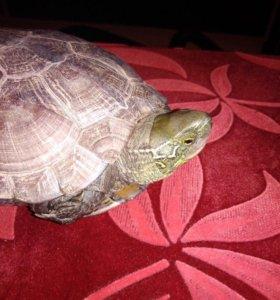 мускуснная черепаха (улыбающиеся)