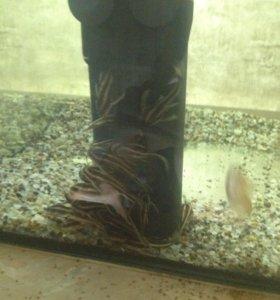 Аквариумные рыбы,Плацидорас костатус
