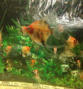 Аквариумные рыбы,Скалярия