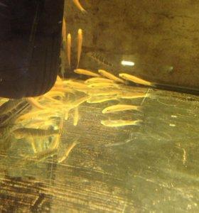 Аквариумные рыбы,чистильщик