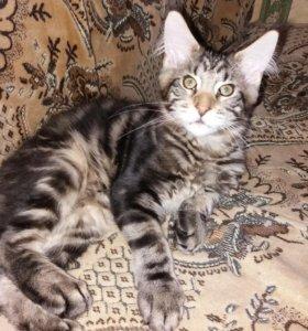 Котята мейн кун красивейших окрасов
