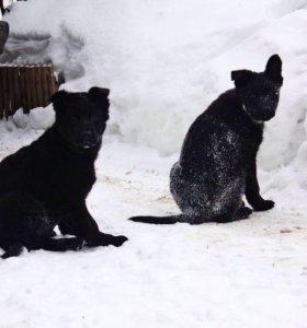 Немецкая овчарка чёрного окраса. РКФ