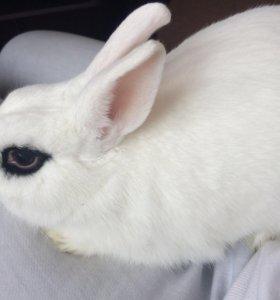 Карликовый кролик ищет самочку