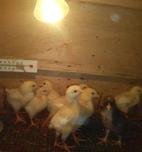 Минимясные цыплята