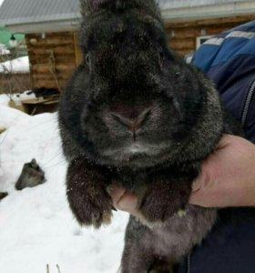 Вязка кроля великана