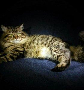 Вязка с опытным котиком