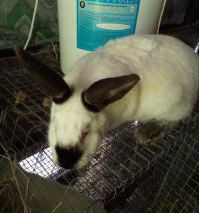 Кролики калифорнийские, мясо кроликов