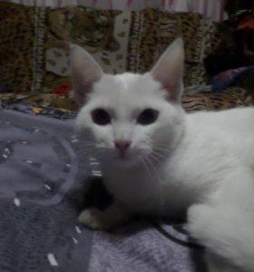 Котёнок порода Као-мани.