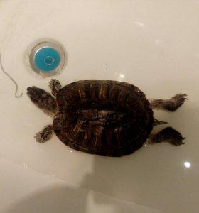 СРОЧНО отдам черепаху