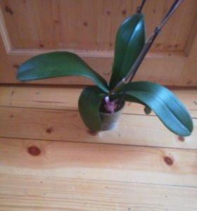 Орхидеи после цветения