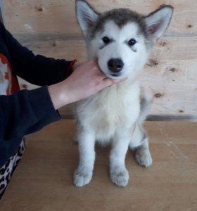 Продам шикарных щенков Аляскинского Маламута