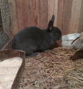 Кролик венский