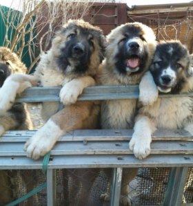 Щенки супер кавказской овчарки