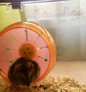 Джунгарский хомячок со своей жилплощадью