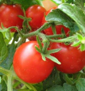 Рассада томат Урожайная гроздь