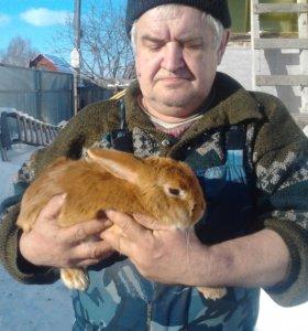 Кролики новозеландские белые и красные