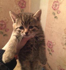 Британские котята ищут дом