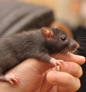 крысы белые, черные, и черно-белые
