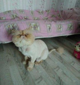 Котик перс на вязку