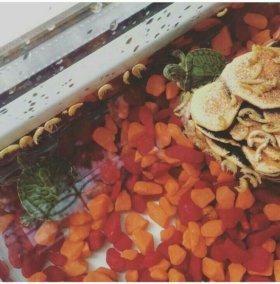 Красноухие черепашки 2 штуки+ аквариум + камень +