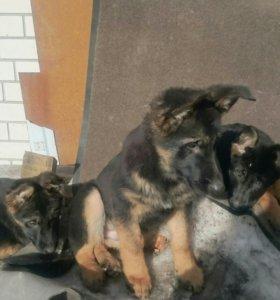 Подрощенные щенки немецкой овчарки