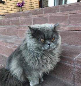 Кот, британец