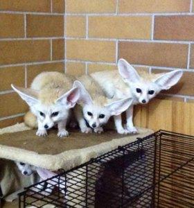 Щенки лисицы Фенек