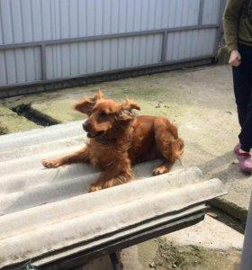 Собака породы Кокер-спаниель