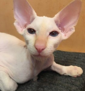 Котёнок петербургского сфинкса