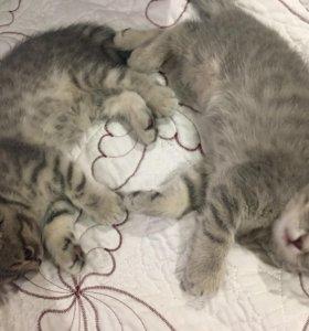 Продаются милейшие вислоухие шотландские котята!😍